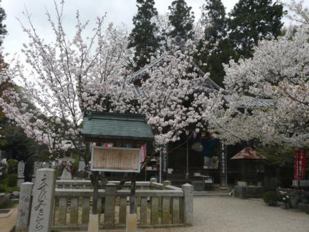 西法寺 薄墨桜 1