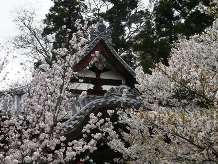 西法寺 薄墨桜 3
