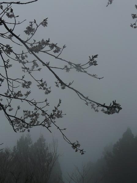 霧の中の桜 1