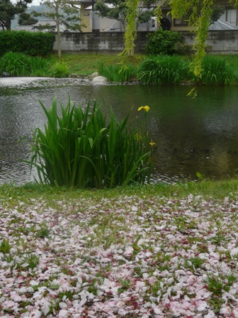 散り桜 と キショウブ