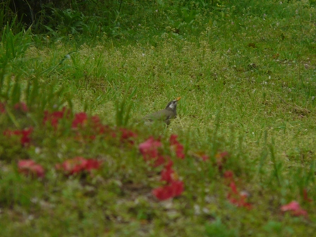 椿の落花 と ムクドリ