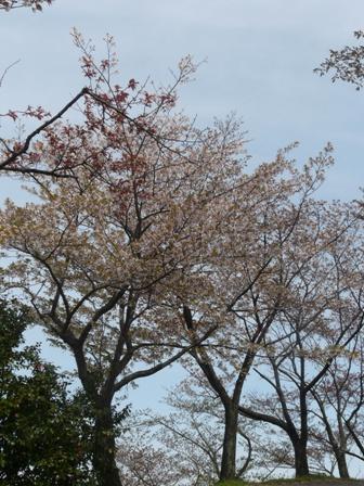 塩ヶ森ふるさと公園 桜 1