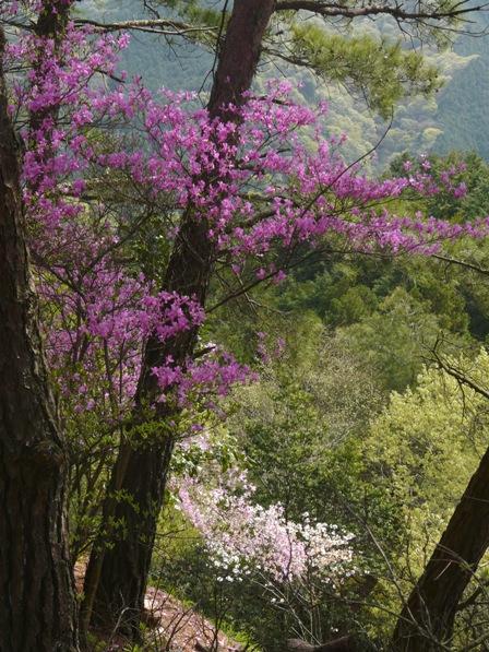 ミツバツツジ と 桜