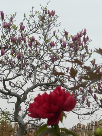 法安寺 牡丹 と 木蓮