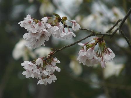 フォレスターハウス 桜 4