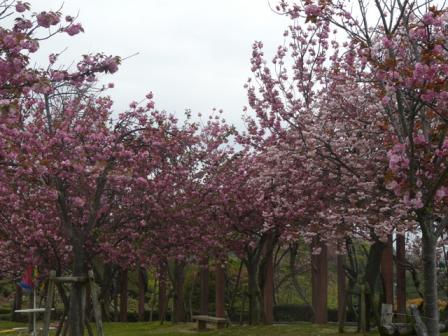 今治 市民の森・フラワーパーク 八重桜 1