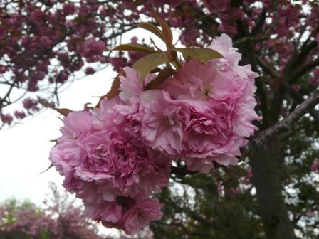 今治 市民の森・フラワーパーク 八重桜 2