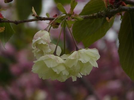 今治 市民の森・フラワーパーク 八重桜 3