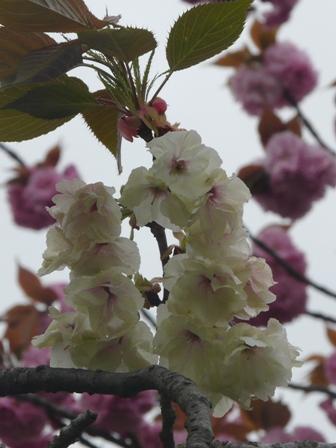 今治 市民の森・フラワーパーク 八重桜 4