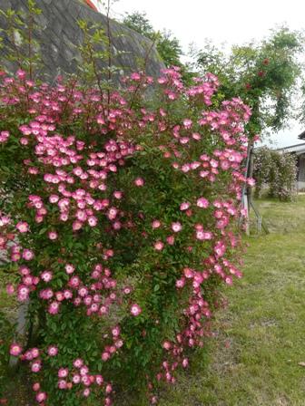 かわら館のバラ 安曇野 1