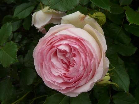 かわら館のバラ ピエール・ド・ロンサール 1