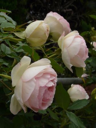 かわら館のバラ ピエール・ド・ロンサール 2