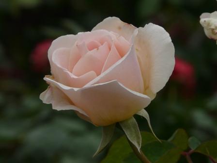 かわら館のバラ プレー