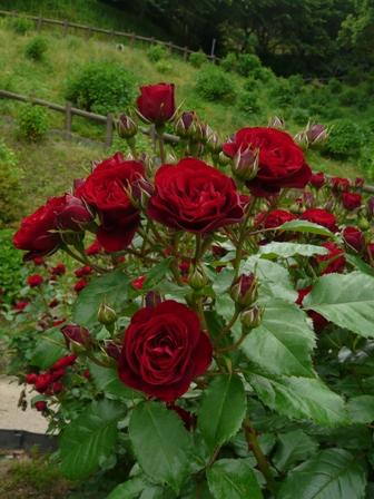 かわら館のバラ ラバグルート 1