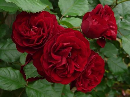 かわら館のバラ ラバグルート 2