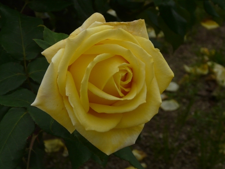 かわら館のバラ ゴールデンハート