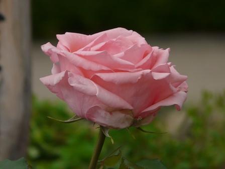 かわら館のバラ はまみらい
