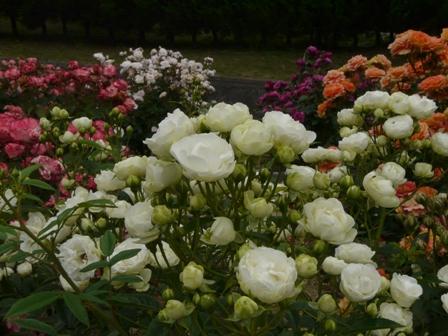 かわら館のバラ スプレーウォッチ