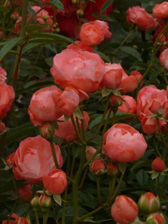 かわら館のバラ スプレーローズ