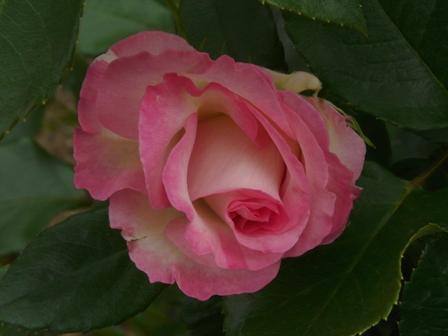 かわら館のバラ ポーターローズ