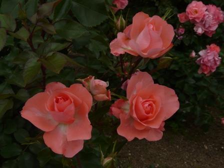 かわら館のバラ ジャルダン・ドゥ・フランス