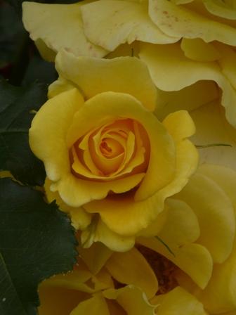かわら館のバラ ゴールドバニー