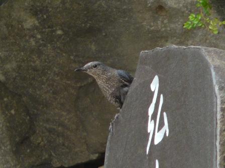 イソヒヨドリ ♀ 2