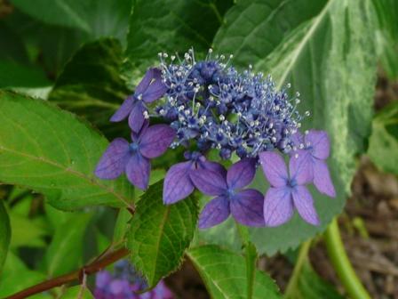 紫陽花 藍姫