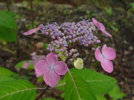 紫陽花 紫紅梅