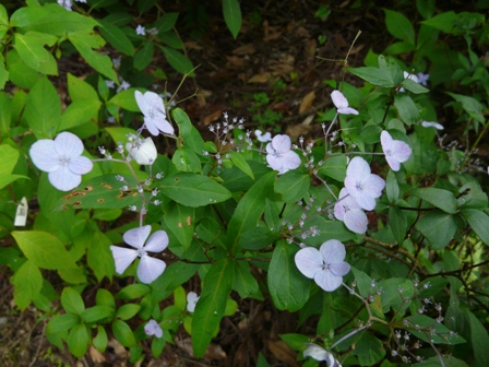 紫陽花 伊予の五月雨