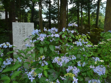 紫陽花 剣の舞 2
