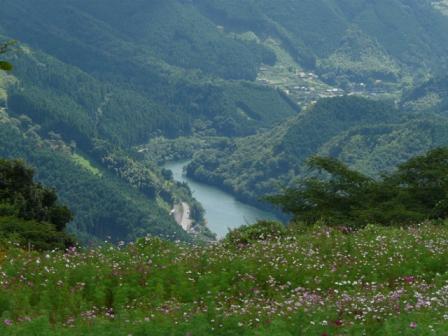 コスモスと金砂湖