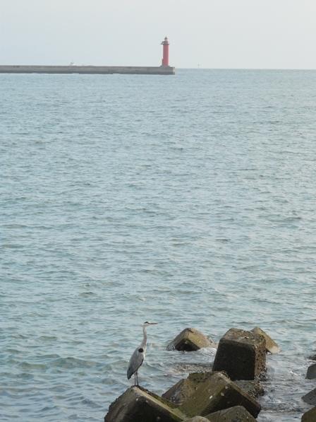 海とアオサギ 1