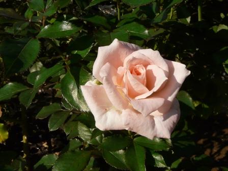 バラ 優花