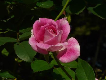 バラ ブリリアントピンクアイスバーグ 1