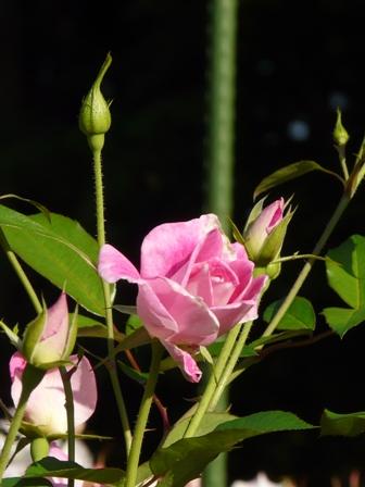 バラ ブリリアントピンクアイスバーグ 2
