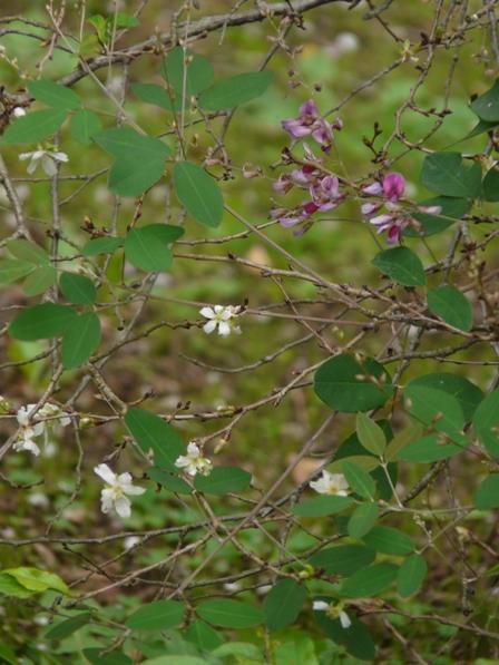 偕楽園 二季咲桜と萩