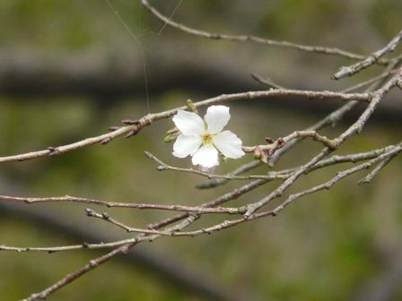 偕楽園 二季咲桜 2
