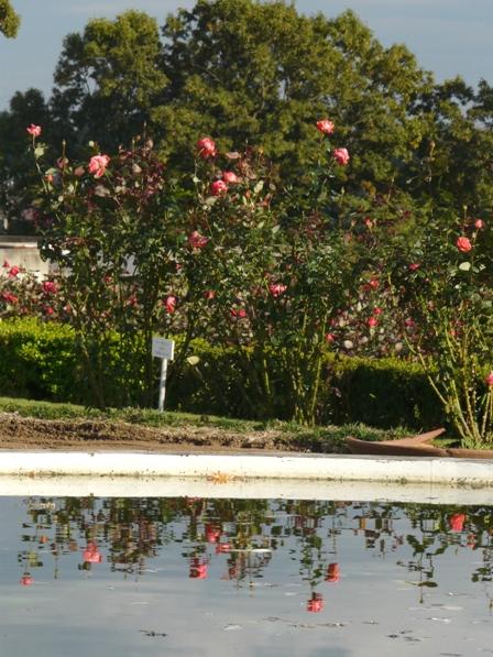 茨城県フラワーパーク バラ 3