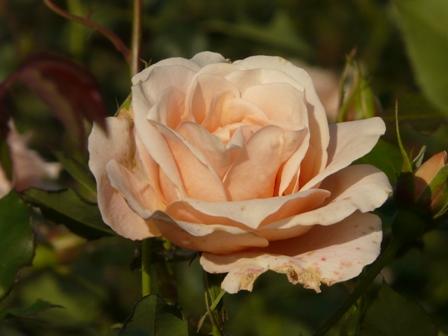 茨城県フラワーパーク バラ 14 (琴音)