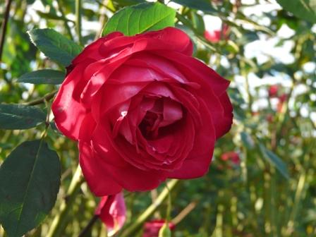 茨城県フラワーパーク バラ 15 (宴)