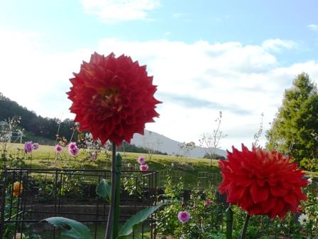 茨城県フラワーパーク ダリア