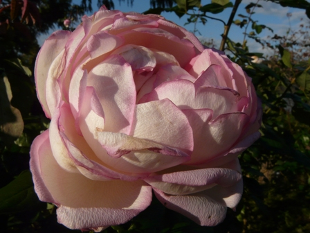 茨城県フラワーパーク バラ 17 (オーナードゥバルザック)