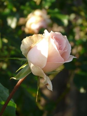 茨城県フラワーパーク バラ 18 (ヨハンシュトラウス)