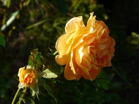茨城県フラワーパーク バラ 19 (ゴルデルゼ)