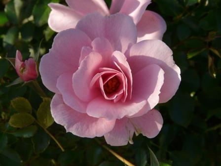 茨城県フラワーパーク バラ 20 (クイーンマザー)