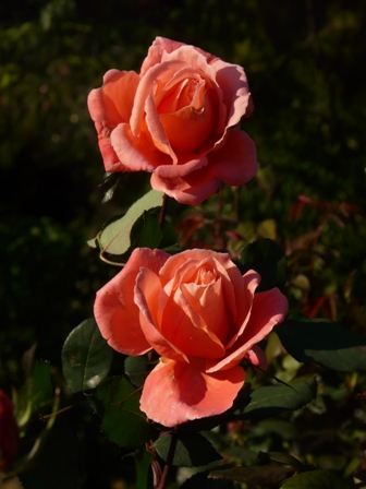 茨城県フラワーパーク バラ 21 (カトリーヌ ドヌーブ)