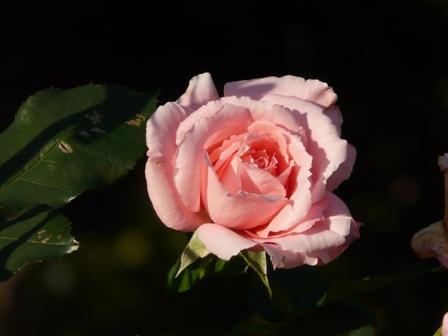 茨城県フラワーパーク バラ 22 (プリンセスアイコ)