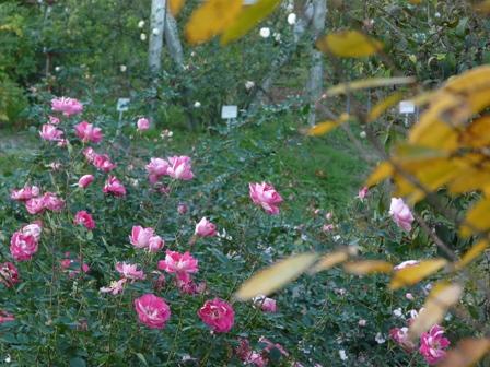 茨城県フラワーパーク バラ 5 (ケアフリーワンダー)