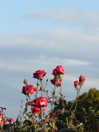 茨城県フラワーパーク バラ 8 (紅)